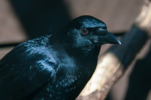 black crow portrait close up at the raptor center